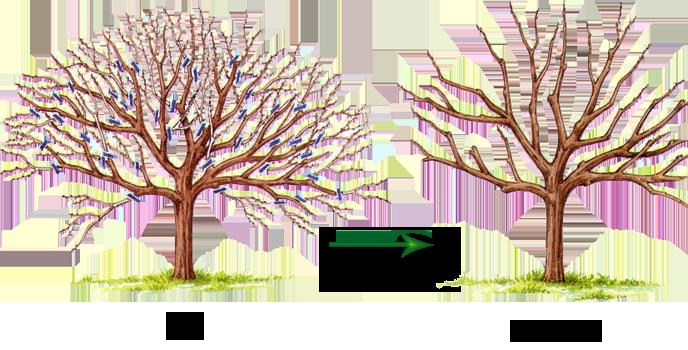 Систематическая обрезка дерева